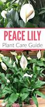 Easy Apartment Plants 25 Best Peace Lily Ideas On Pinterest Best Indoor Plants