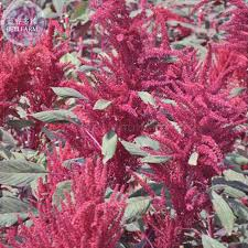 amaranthus flower leaves annual plant seeds 100 seeds