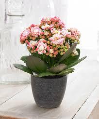 buy house plants now double flowered kalanchoe grandiva pink