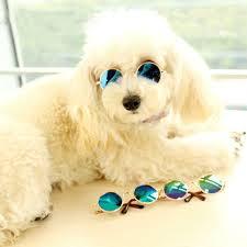 bichon frise funny amazon com cool stylish and funny cute pet sunglasses classic