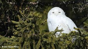 snowy owl in tree birdingnewbrunswick