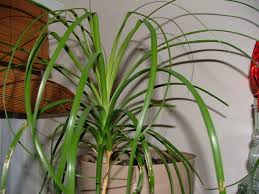 tropical plants that grow very well in your home house plants add