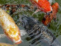 ornamental koi carp fish stock photos image 16074633