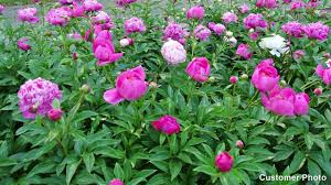 peonies for sale peony perennials paeonia american