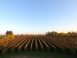 what is harvest thanksgiving italian wine grape harvest is down by 30 percent food u0026 wine