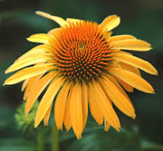 Smith Wholesale LLc Coneflower - Harvest Moon - Bare Root at Sears.com
