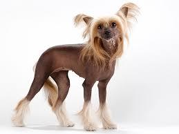 affenpinscher a vendre quebec acheter un chien chinois à crête annonces chiens chien chinois à