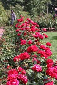 roses portland rose garden 9 2011 flowers and plants 2
