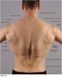 duke anatomy lab 2 pre lab exercise shoulder pinterest