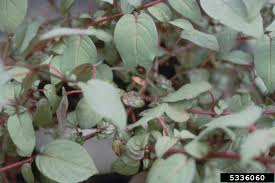 troubleshooting fuchsia plant diseases learn about diseases of