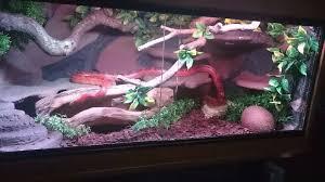 female corn snake with beautyfull 3ft vivarium terrarium tank