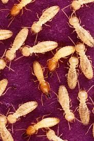 chambre d hote r駑y de provence termite wikivisually