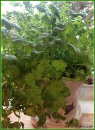 Herb Garden Winter - 118 best herb kit for kids images on pinterest cooking to grow