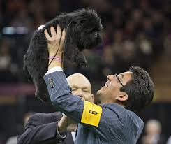 affenpinscher qualities what makes a perfect dog how judges chose past best in shows la