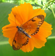 file orange butterfly on orange flower jpg wikimedia commons