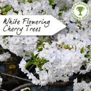flowering cherry tree prunus cherry blossom ornamental trees ltd