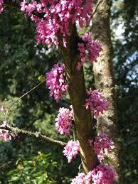 the redbud tree rainyleaf