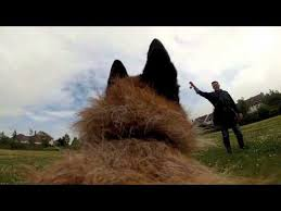 belgian sheepdog laekenois belgian shepherd laekenois fetch gopro youtube