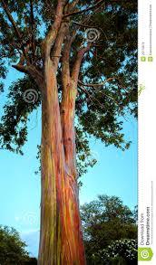 hawaiian rainbow eucalyptus tree royalty free stock photos image