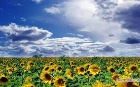 sunflower wallpapers sunflower wallpaper for desktop background free wallpapers
