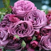 purple roses for sale roses bushes gardening plants heirloom roses