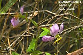 native plants maryland florida native plant what florida native plant is blooming today
