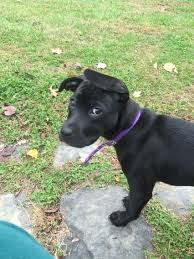 american pitbull terrier 4 weeks 10 week old black lab and pit bull mix pit bull pinterest