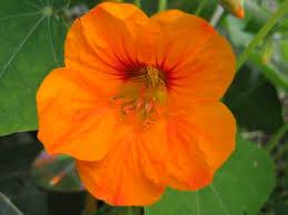 nasturtium flowers nasturtium more than just a pretty myrobalan clinic