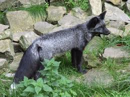 silver fox animal wikipedia