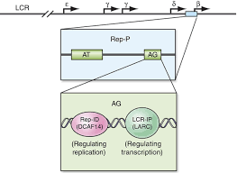 a replicator specific binding protein essential for site specific