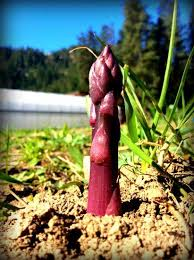 352 best tips for grow asparagus images on pinterest vegetable