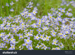 field small bluet flowers mountains north stock photo 220088122