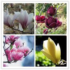aliexpress buy 30 pcs magnolia seed magnolia tree magnolia