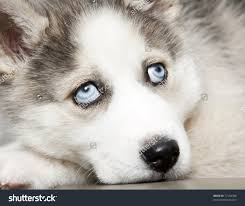 cute babie eyes wallpapers cute husky puppy with blue eyes zoe fans baby wallpaper puppies