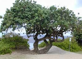 important hawaiian use plants plants of hawaii