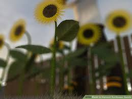the easiest way to harvest sunflower seeds wikihow