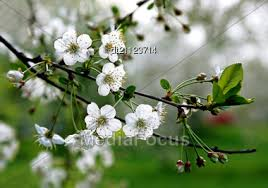 trees with white flowers stock photo branch blossoming tree beautiful white flowers image