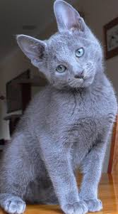 halloween background cat eyes 600x 600 best 20 russian cat ideas on pinterest russian blue blue cats