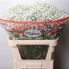 Baby S Breath Wholesale Gypsophila Xlence Wholesale Flowers Uk Wedding Flowers