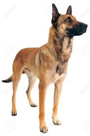 belgian sheepdog breeds purebred belgian sheepdog malinois on a white background stock