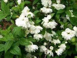 White Flowering Shrub - shrubs botanical a through p