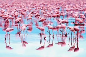 why are flamingos the color pink