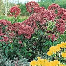 54 best perennials images on pinterest cut flowers perennials