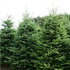 fraser fir christmas tree real fraser fir christmas trees freshly cut christmas trees