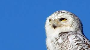 snowy owl at west dennis beach youtube