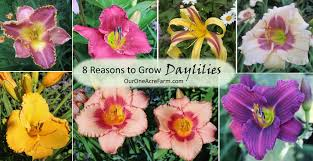 day lillies 8 reasons to grow daylilies