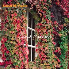 online buy wholesale boston ivy seeds from china boston ivy seeds