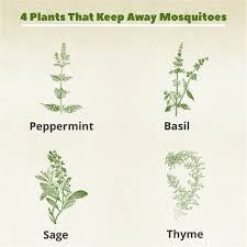4 plants you can grow today to keep mosquitoes away the indoor