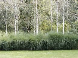 image result for best ornamental grass used in belgium landscapes