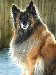 belgian sheepdog pups english dogs puppies belgian tervuren dogs